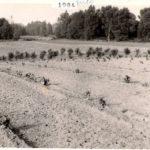 Lato 1984 - przygotowanie pola pod winnicę